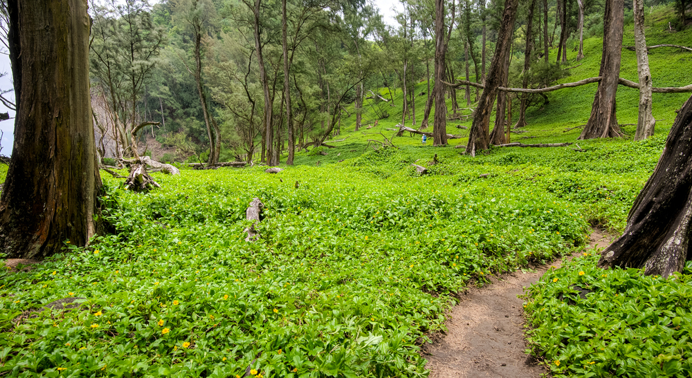 Pololu Valley Vegetation