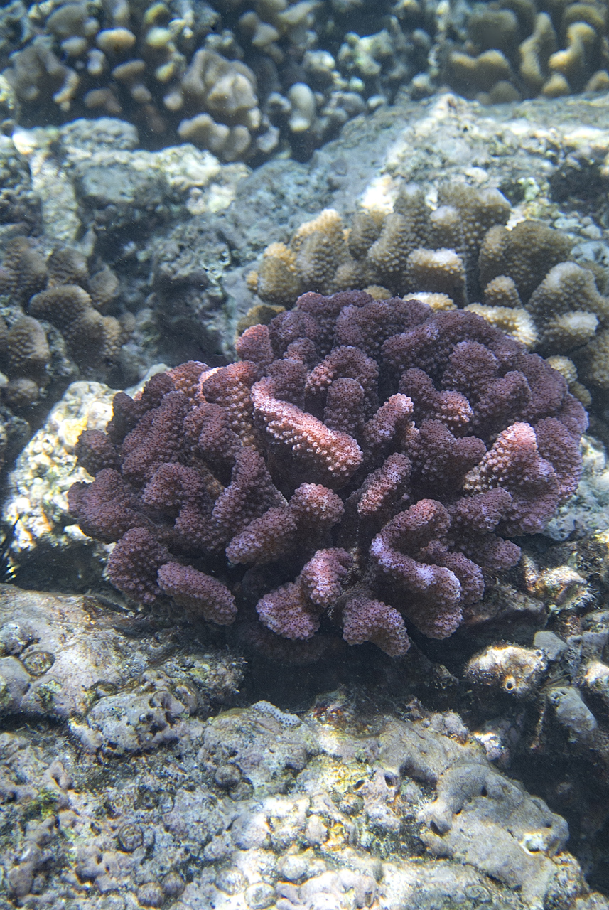 Pocillipora meandrina colony