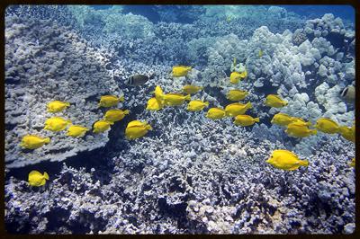 yellow tangs small.jpg