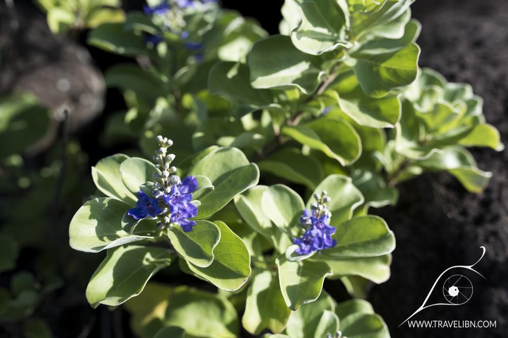 pohinahina beach vitex Vitex rotundifolia.jpg