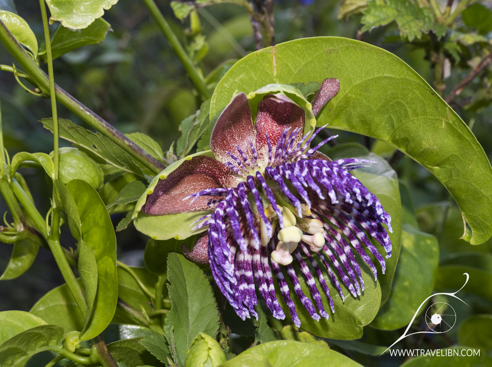 Passion Flower Vine.jpg