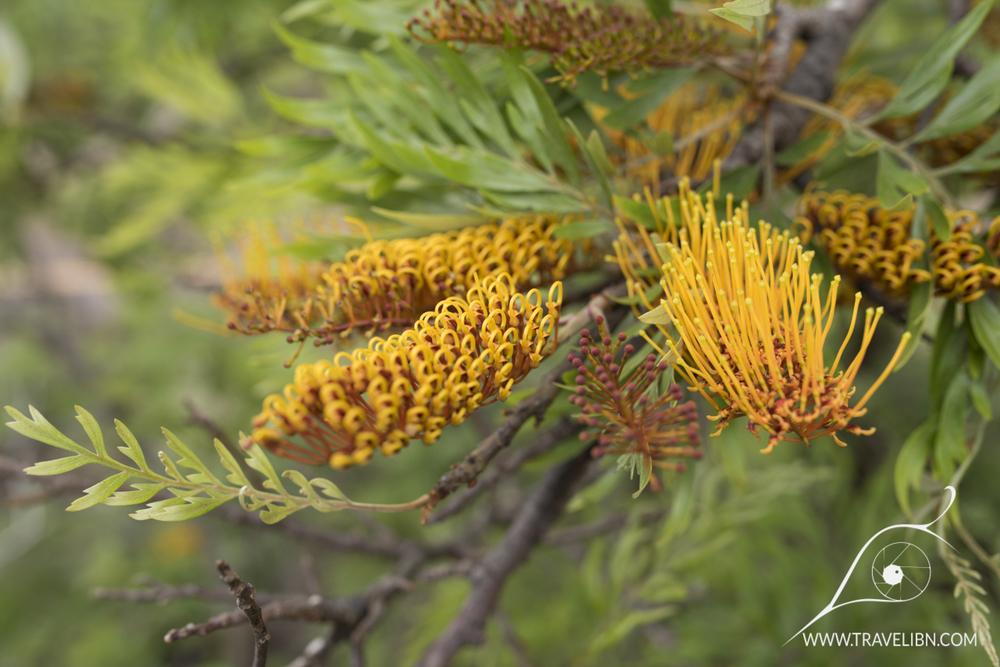 Grevillea robusta – Silk Oak.jpg