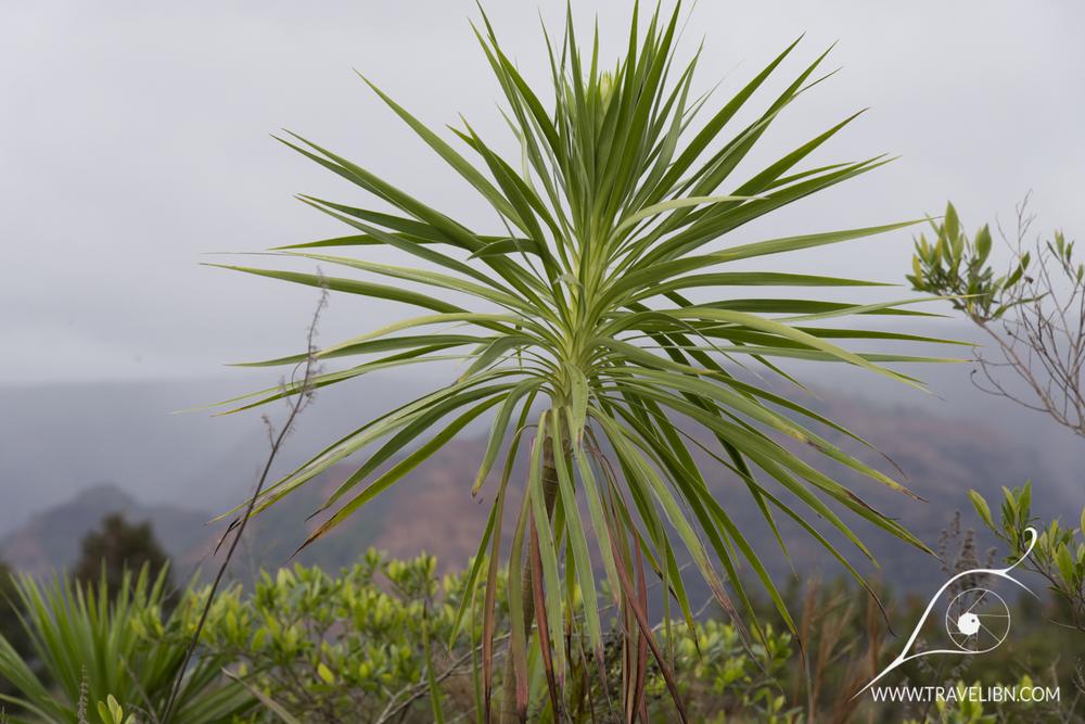 Iliau Wlkeria gymnoxiphium