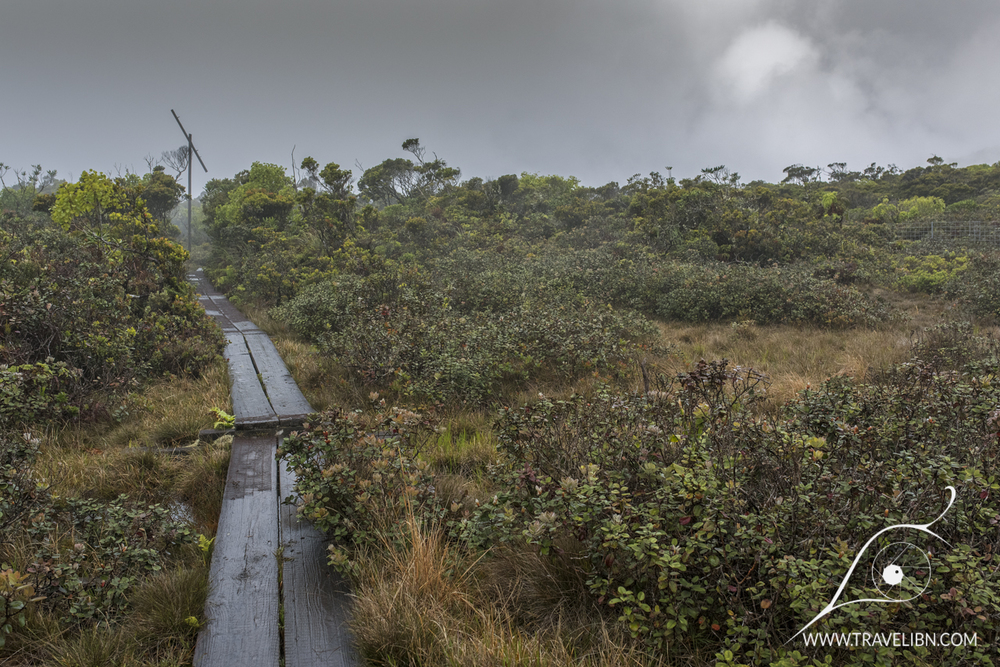 Final part of Alaka'i Swamp trail. Old telephone line post in the distance.