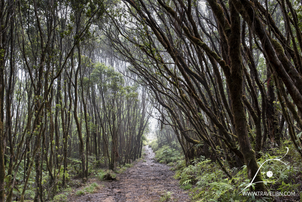 Pihea Trail Forest
