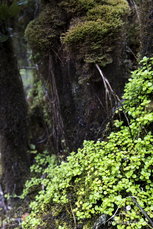 Pihea Trail plants