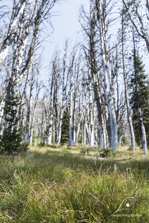 Whitebark pine trees