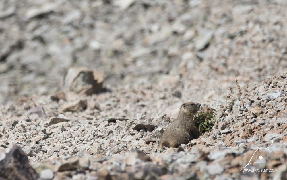 Marmot near the trail