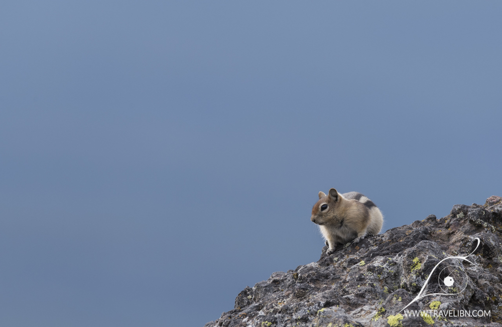 Ground squirrel enjoying the sun in Mt. Washburn