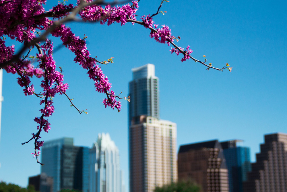 Bright pink blossoms bloom in the sun, welcoming the warm weather to Austin.
