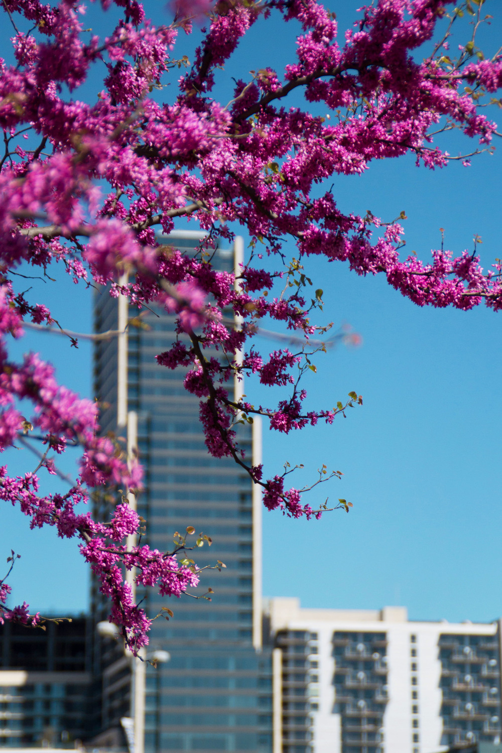 Flowers adorn the trees around the Long Center, framing the skyline with a pop of color in sharp contrast to the blue sky.
