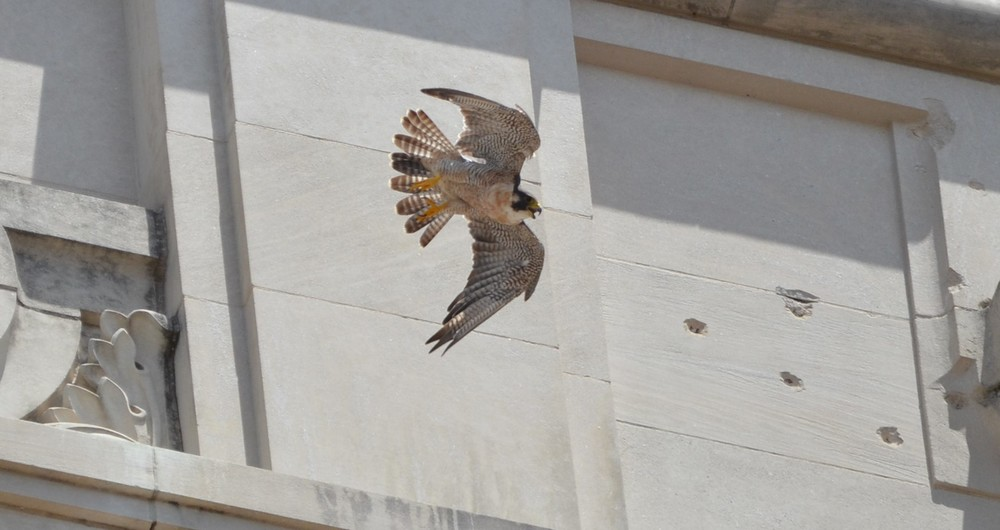 Tower Girl, UT's resident peregrine falcon, circles the top of the tower. Photo courtesy of Chris DuCharme.