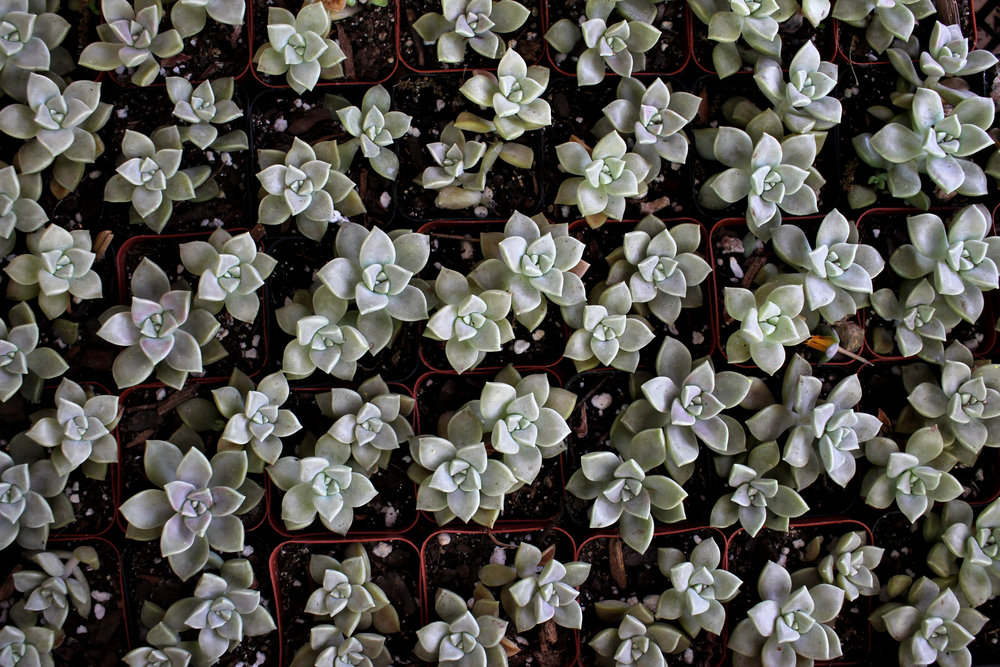 Some of the succulent plants one could purchase at the Zilker Garden Festival.