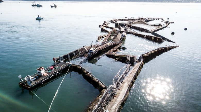 Local News - August 19, 2017 a fish farm near the San Juan islands had a large incident where Atlantic salmon escaped. Of the approximately 300,000 fish held in the net pen, it is estimated that 250,000 fish escaped. Since then, 57,000 of the 250,000 escaped Atlantic salmon have been recaptured. The introduction of these non-native salmon carries the risk of them outcompeting native salmon for food and introducing disease to our established populations.