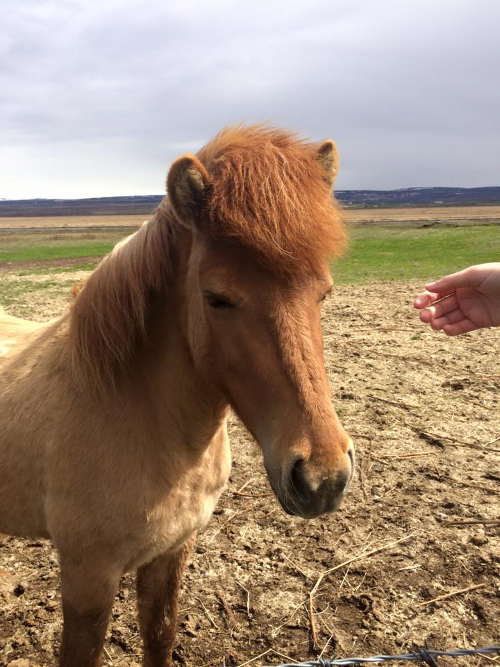 Icelandic horses are some of the kindest horses I've ever seen - they're incredibly pack minded and intelligent.