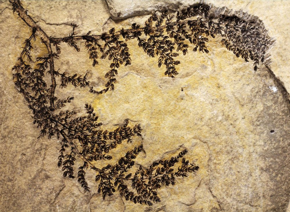 Fossil of the Montsechia vidalii, an extinct genus of aquatic plants. It would appear to be the earliest known flowering plant.