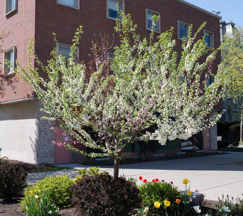 Sam Van Aken, The tree of 40 fruits of the genus  Prunus