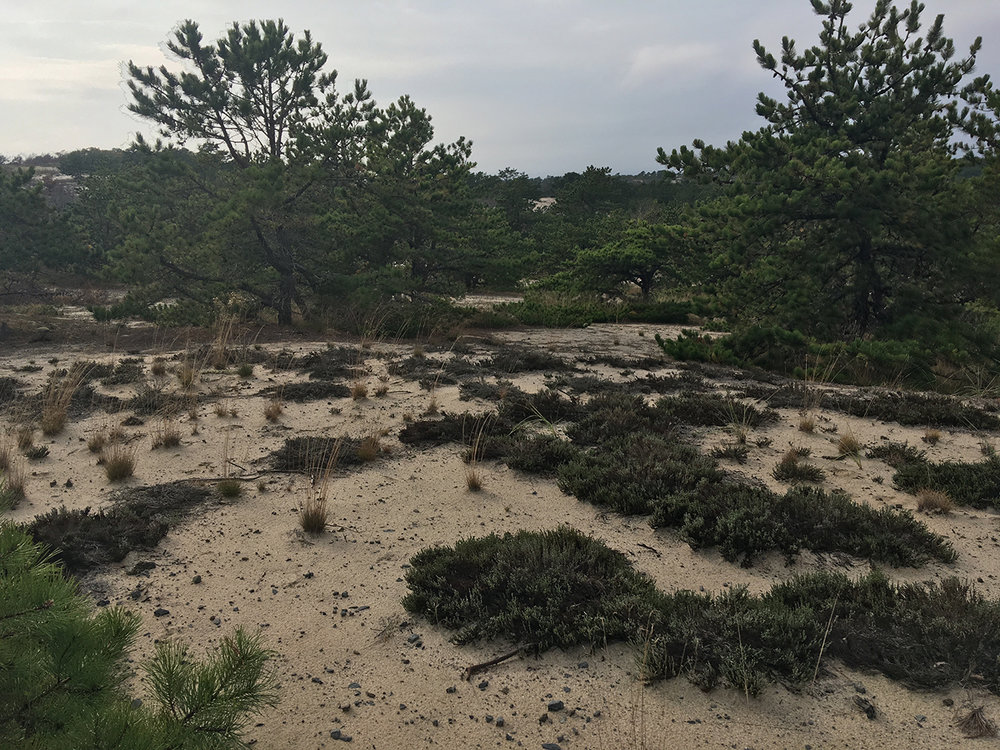 Observations from my walks: Dunes deposits, shrubs and pines    (Cape Cod, MS, USA)