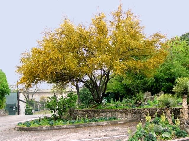The Sweet Acacia is our june tree of the month