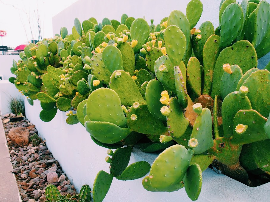 Prickly Pears outside Thunderbird Hotel