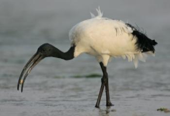 heilige ibis  ( Threskiornis aethiopicus )