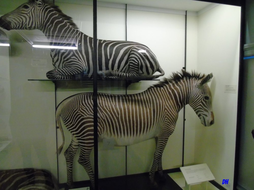 De Rothschild zebra