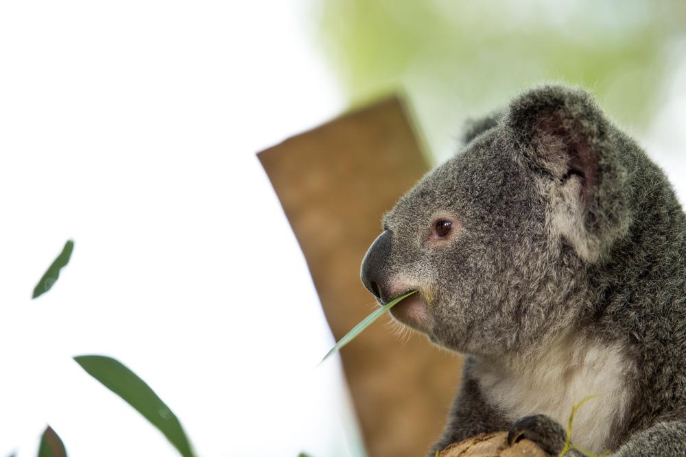 Wat doet een koala de gehele dag, eten en slapen :P