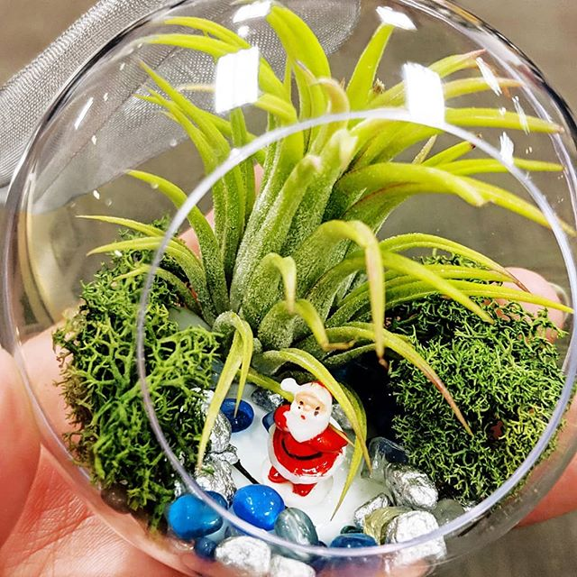 🎅🌱🎄 . . . . Love this lil #terrarium ornament! I made it with #airplants and holiday cheer at @shopbachmans ❤️🎄 Thanks to @mnbloggerbash and #bachmans for having me out to the #makeitmerry event at the #holidayideashouse. . . . . Had fun exploring the #modernplaid theme and all the ways to add Christmas joy to my home. Blog post to come! #todaystreasures #santa #twincitiescollective #twincitiesbloggers #mnbloggerbash #madeinminnesota #myminnesota #holidaycheer #christmasdecorating