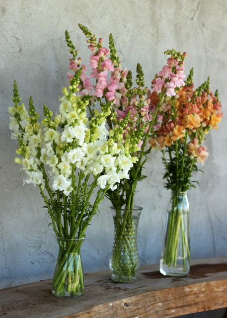 Snapdragons, white, pink, salmon, peach, lavender, hot pink, yellow