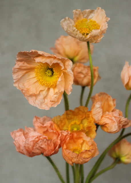 Poppies, peach