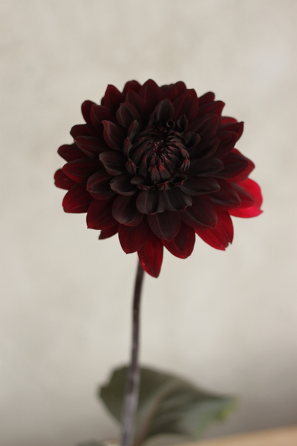 Dahlias, burgundy