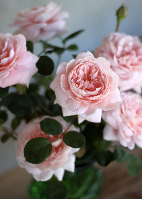 Rose David Austin