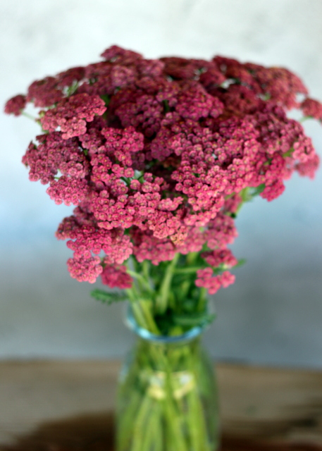 Yarrow, dusty rose