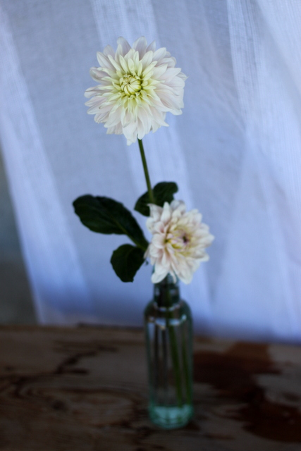 Dahlias, blush