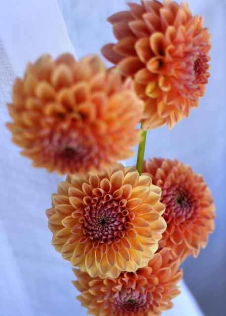 Dahlias, peach