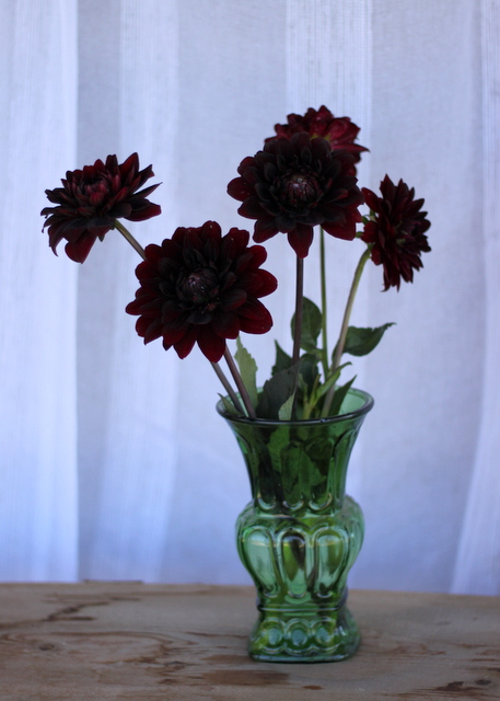 Dahlias, chocolate