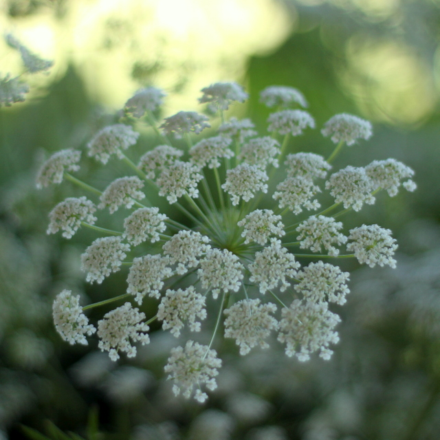 Queen Anne's Lace, white