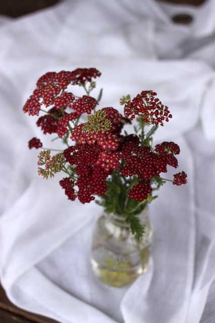Yarrow, red