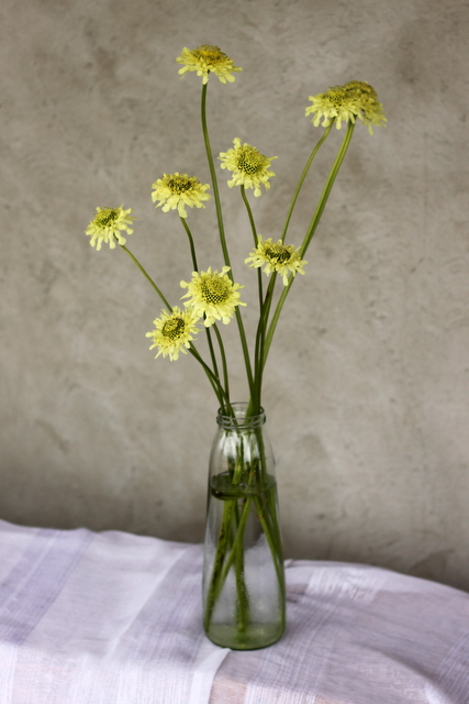 Pincushion Flower, light yellow