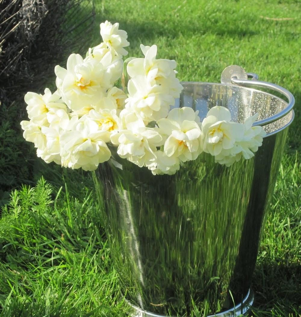 daffodilsInBucket.jpg
