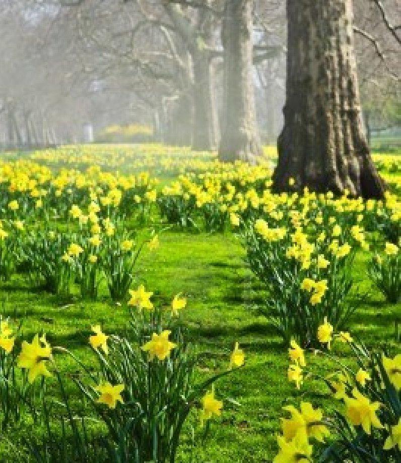 daffodilsInWoods.jpg