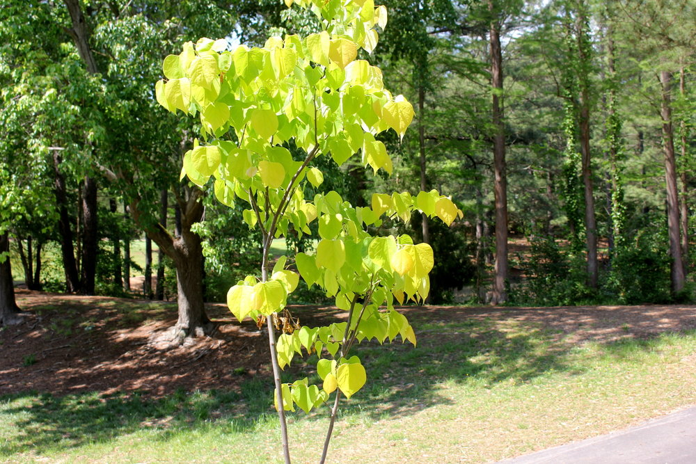 Tree planted in a Raleigh Park in memory of a former Raleigh Garden Club member