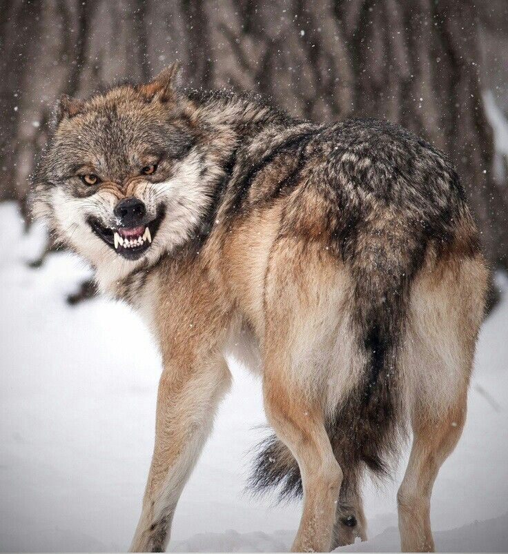 SJW Wolf on the hunt, looking to sate its liberal bloodlust