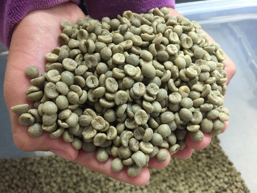 Maui Mokka coffee ready for roasting.