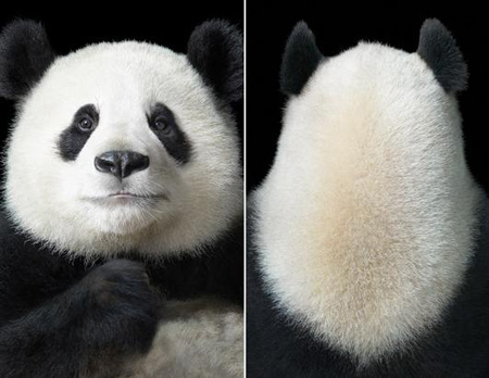 panda_dipFlach.jpg