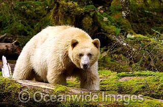 spirit-bear-50T8020-21.jpg