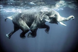 swimming-elephant1.jpg