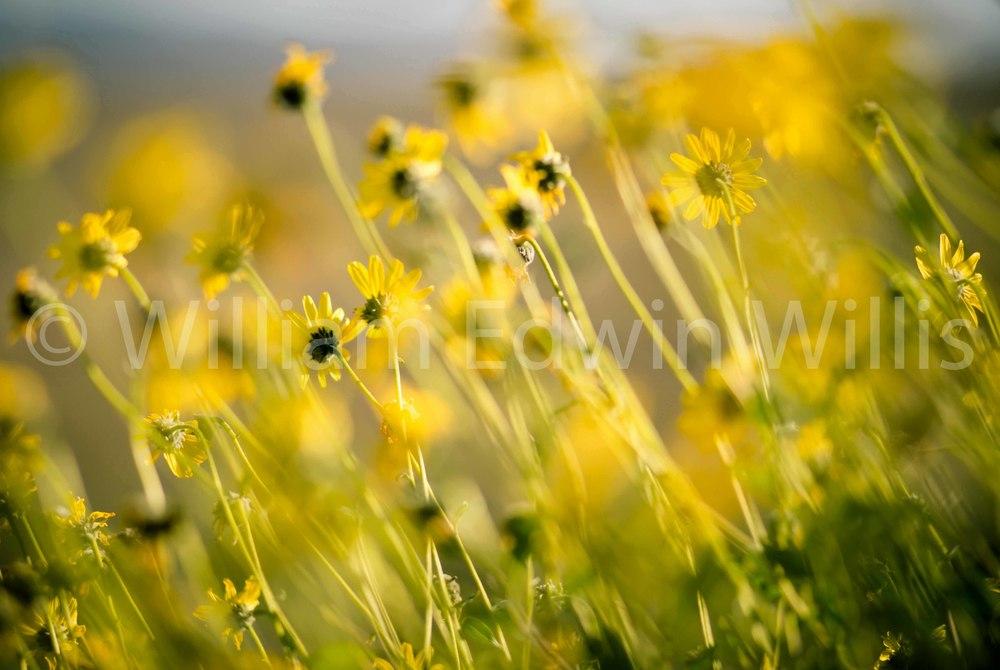 California Wild Flowers - Tijuana Estuary