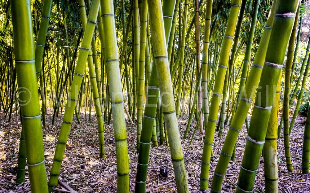 Bamboo Garden, San Diego Botanical Garden
