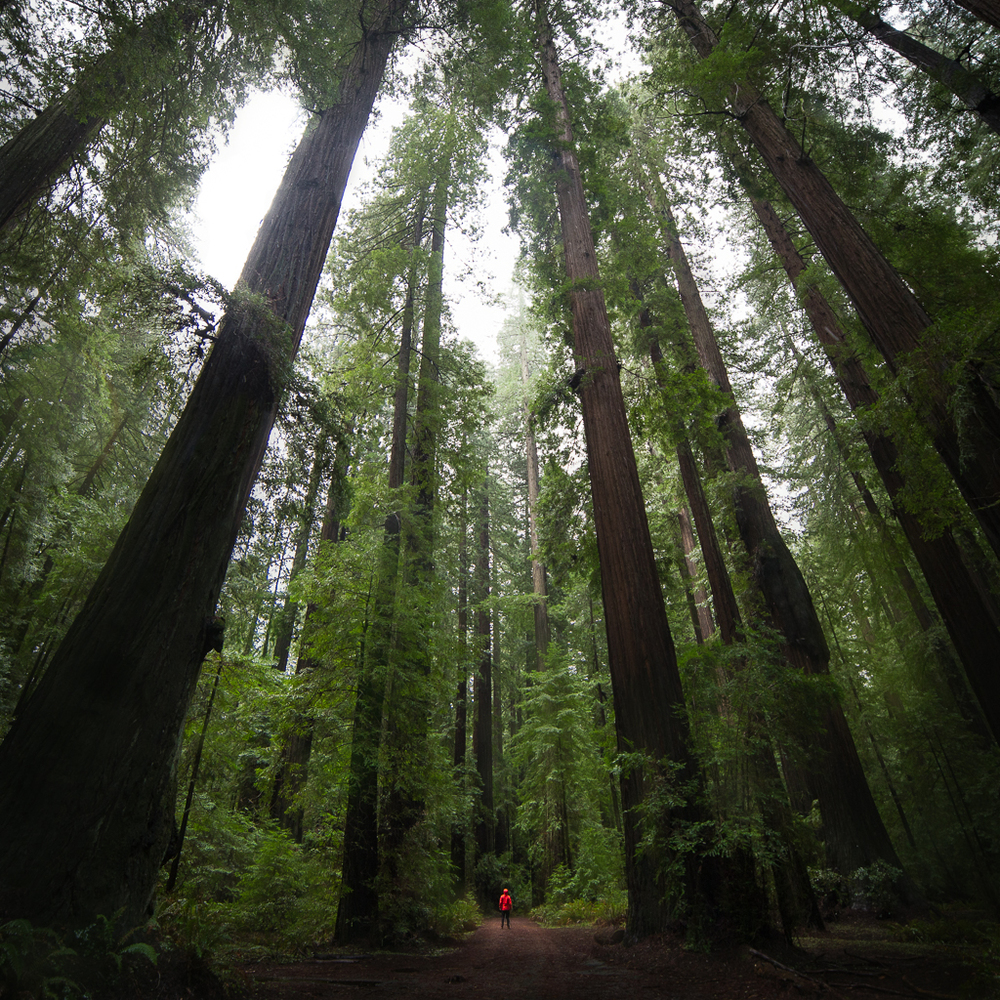 Red Woods National Park, California